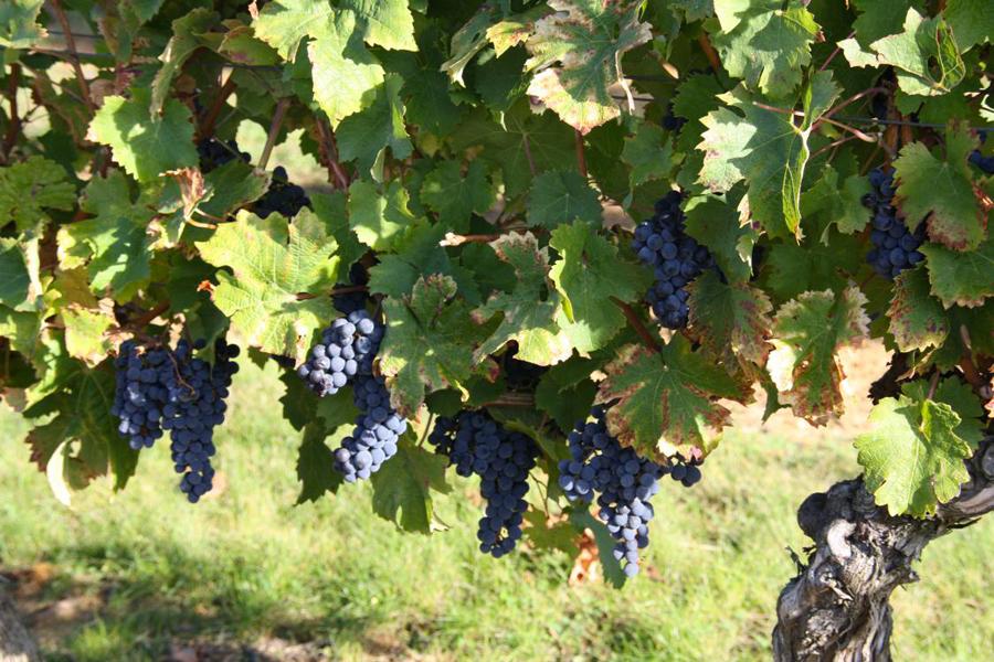 vigne Le Logis de la Bouchardière